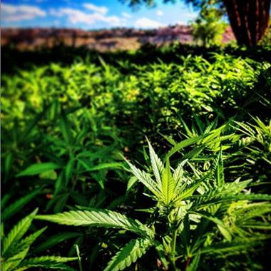 Organic CBD Hemp Farm